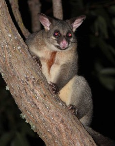 australian-possum-male-22av